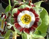 Auricula 'Laverock Fancy'