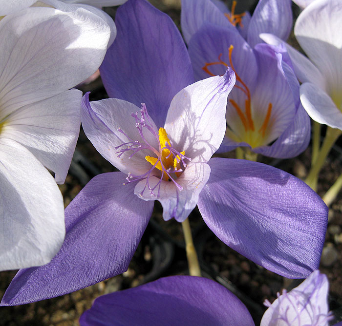 Crocus banaticus bi coloured form