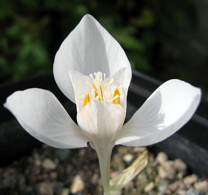 Crocus banaticus white form