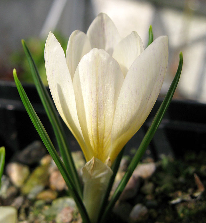 Crocus cvijcii 'Cream of Creams'