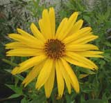 unknown perennial helianthus